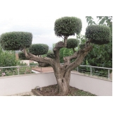 poda oliveira jardim Freguesia do Ó